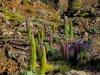 12 Natternköpfe am Roque de los Muchachos