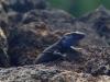 endemische blaukehlige Eidechse